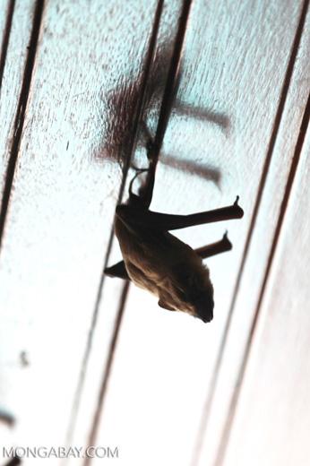 Bats -- sabah_0110