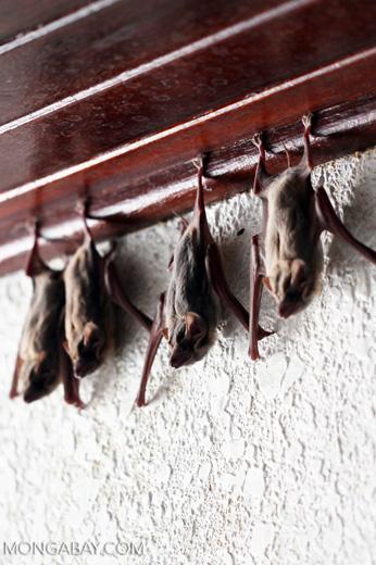 Bats -- sabah_0116