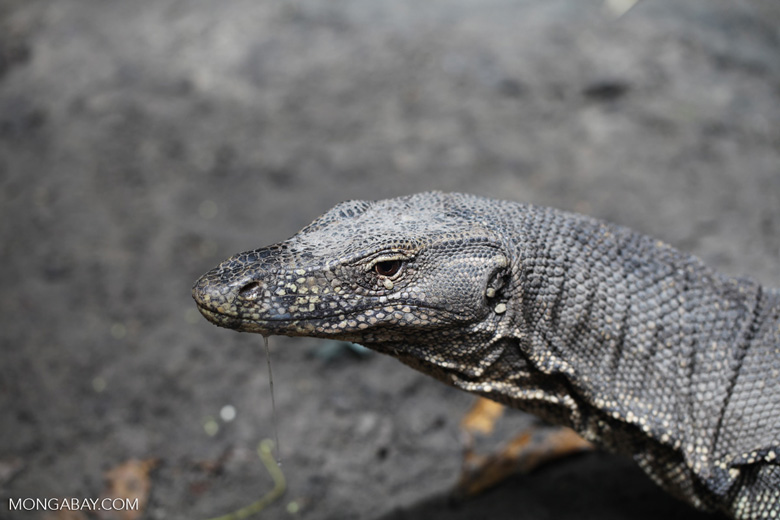 Giant water monitor