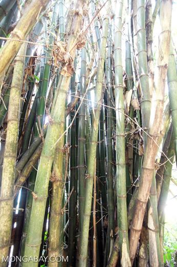 Bamboo -- sabah_0283