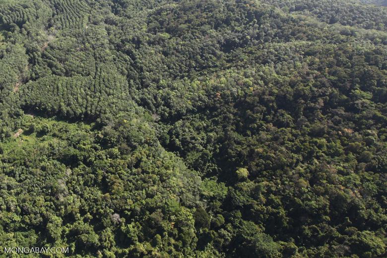 Acacia and rainforest -- sabah_1016