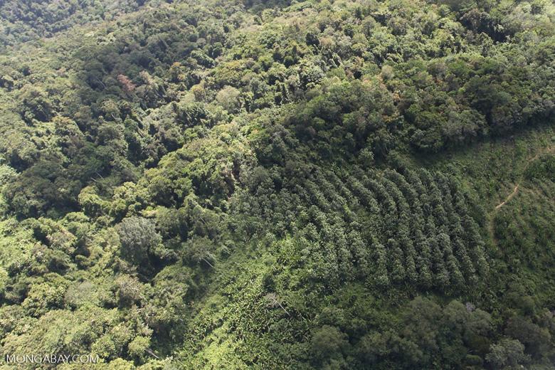Acacia and rainforest -- sabah_1020