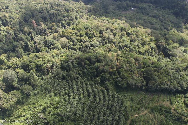 Acacia and rainforest -- sabah_1021