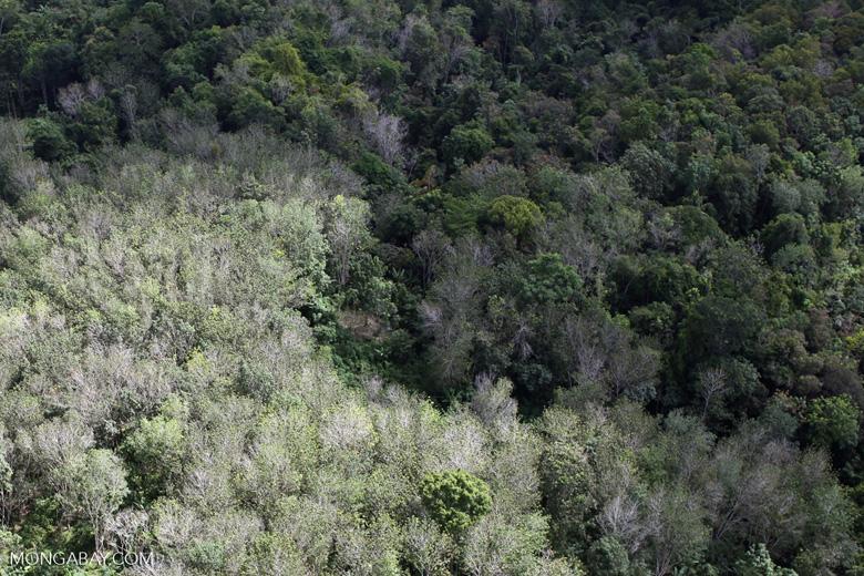 Acacia and rainforest -- sabah_1034