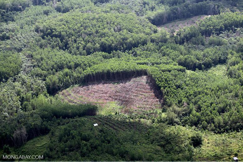 Acacia and rainforest -- sabah_1121