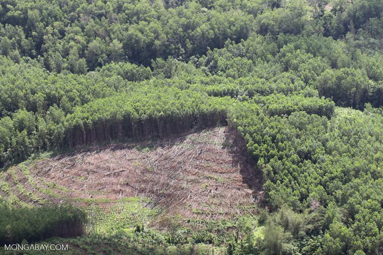 Acacia and rainforest -- sabah_1123