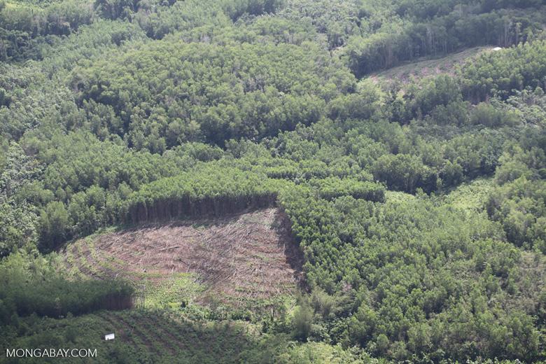 Acacia and rainforest -- sabah_1125
