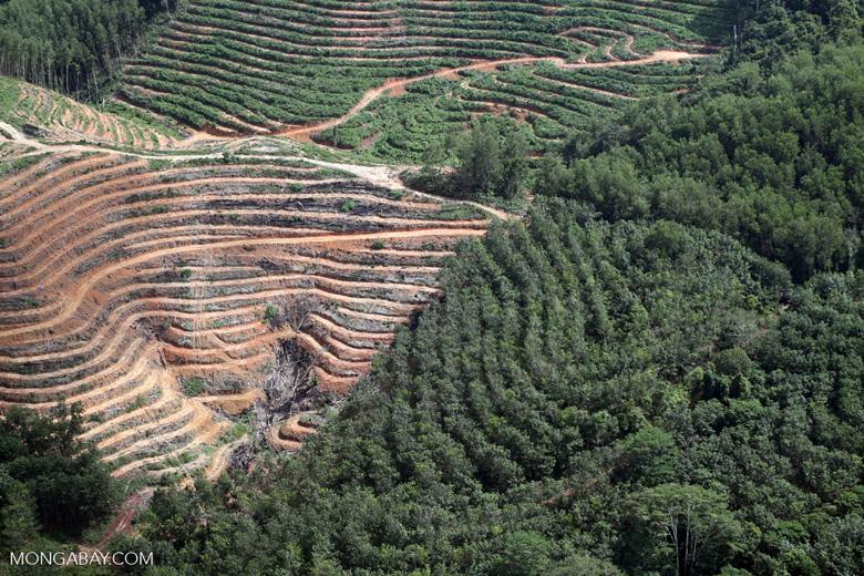Acacia and rainforest -- sabah_1134