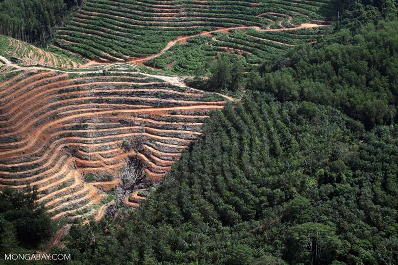Acacia and rainforest