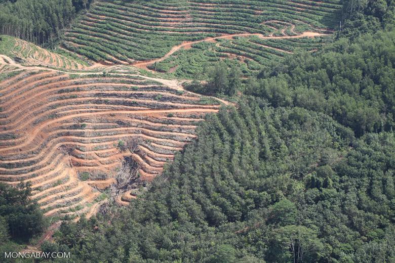 Acacia and rainforest -- sabah_1137