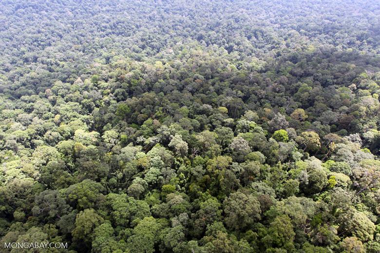 Oldgrowth rain forest in Sabah, Malaysia