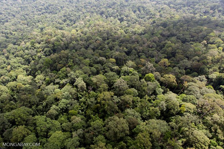 Oldgrowth rainforest in Sabah