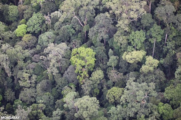Primary rainforest in Imbak Canyon, Borneo