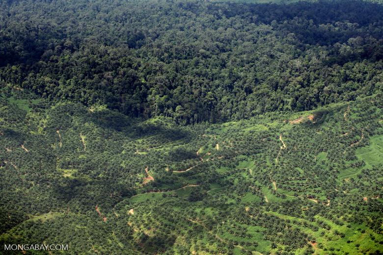 Oil palm plantation -- sabah_1636