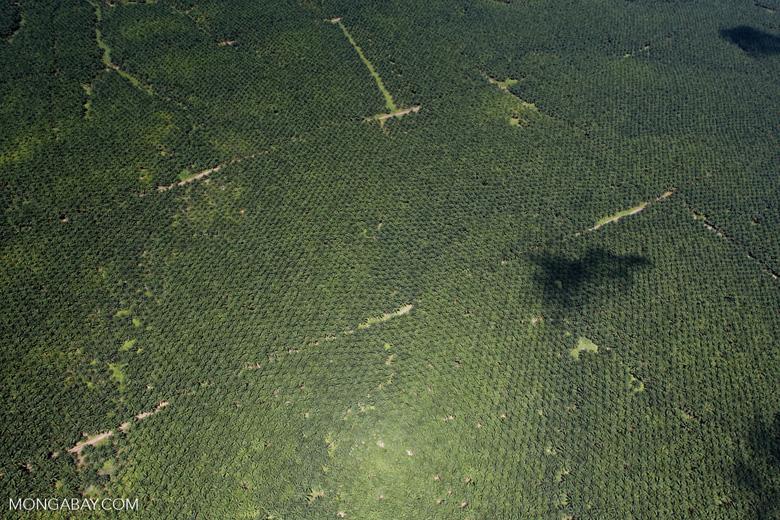 Oil palm plantation -- sabah_1723