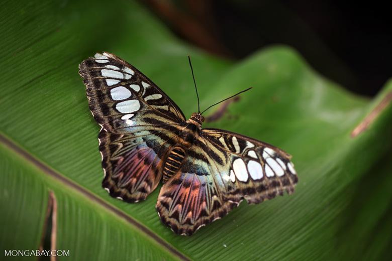 Clipper butterfly (Parthenos sylvia)
