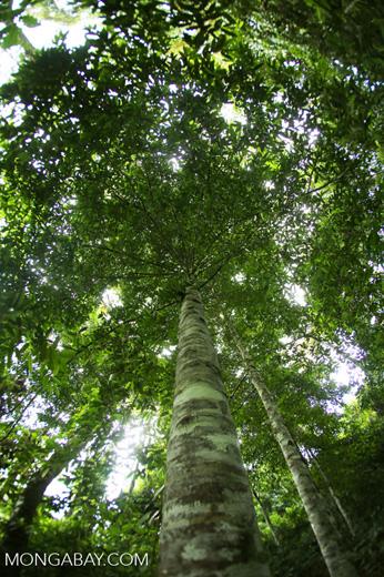 Canopy tree -- sabah_2565