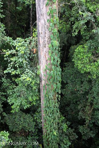 Canopy tree -- sabah_2629