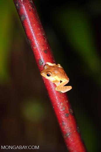Frog -- sabah_2671
