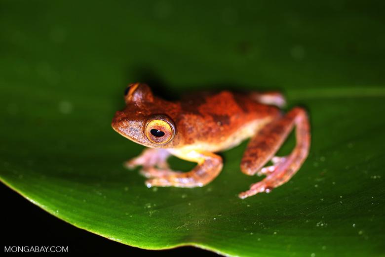 Rhacophorus pardalis tree frog -- sabah_2684