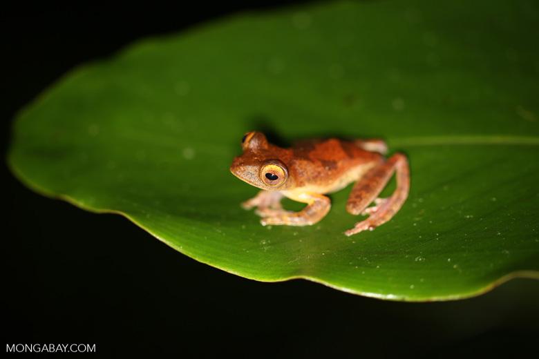 Rhacophorus pardalis tree frog -- sabah_2685