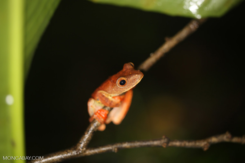 Rhacophorus pardalis tree frog -- sabah_2696