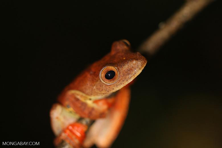 Rhacophorus pardalis tree frog -- sabah_2698