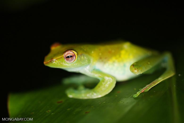 Rhacophorus dulitensi tree frog