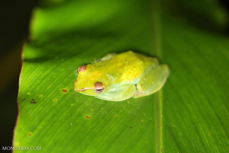 Rhacophorus dulitensi tree frog -- sabah_2704