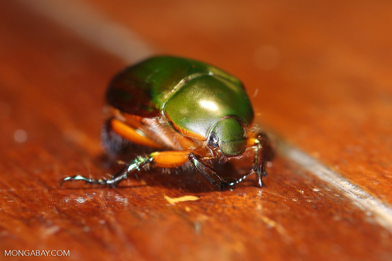 Jewel beetle -- sabah_2726