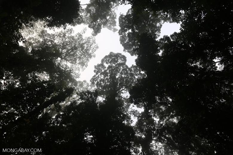 Danum Valley rainforest -- sabah_2753