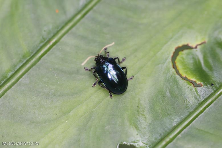 Metallic blue-green beetle