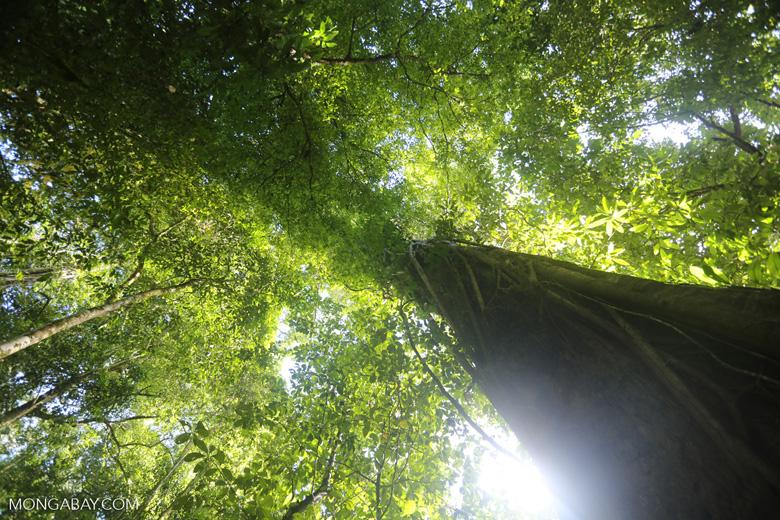 Rainforest tree in Sabah