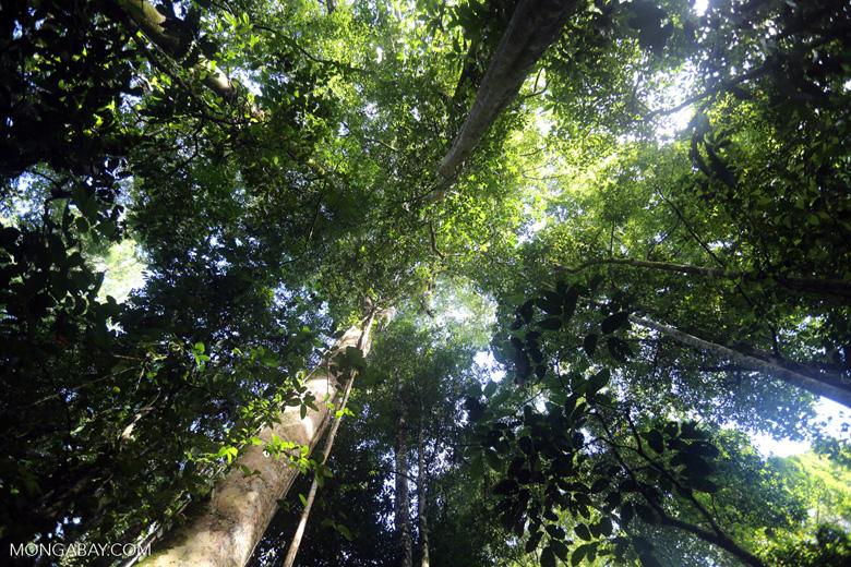 Borneo rainforest canopy