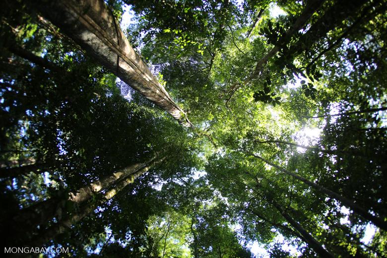 Borneo rainforest canopy -- sabah_2809