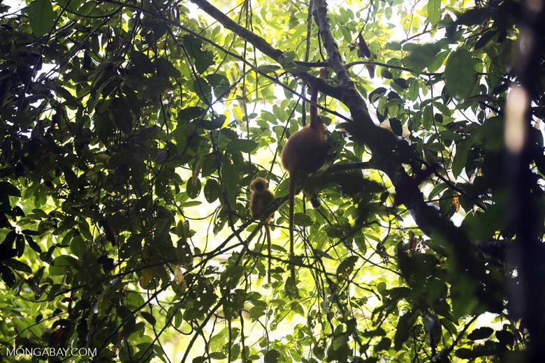 Red leaf monkey -- sabah_2834
