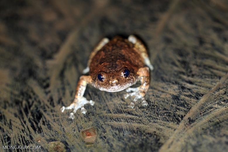 Unidentified frog -- sabah_2941