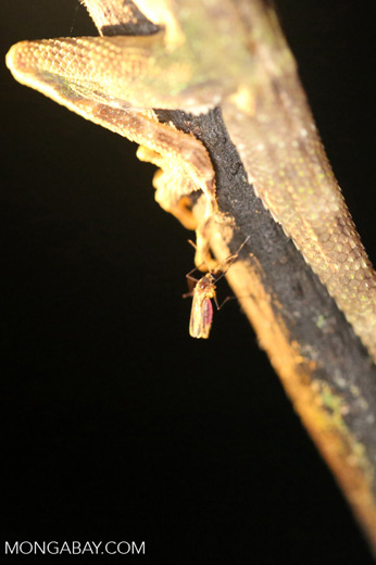 Mosquito biting a lizard