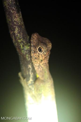 Black-bearded Gliding Lizard -- sabah_3006