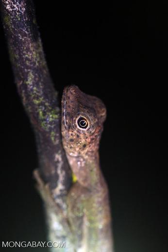 Black-bearded Gliding Lizard -- sabah_3008