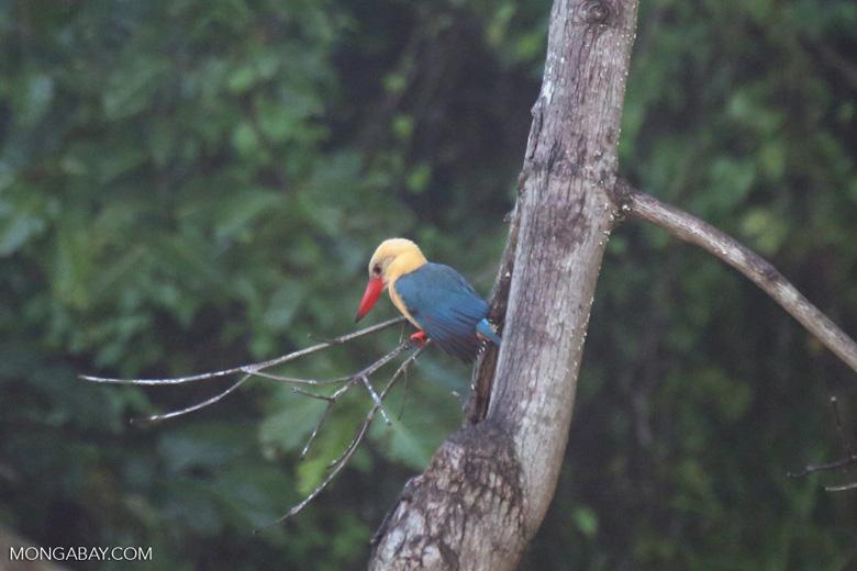Stork-billed Kingfisher (Pelargopsis capensis) -- sabah_3029