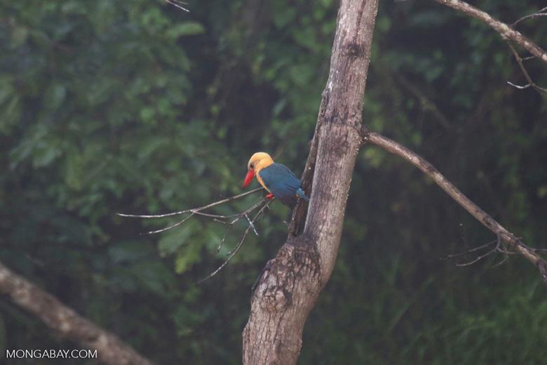 Stork-billed Kingfisher (Pelargopsis capensis) in Borneo -- sabah_3030