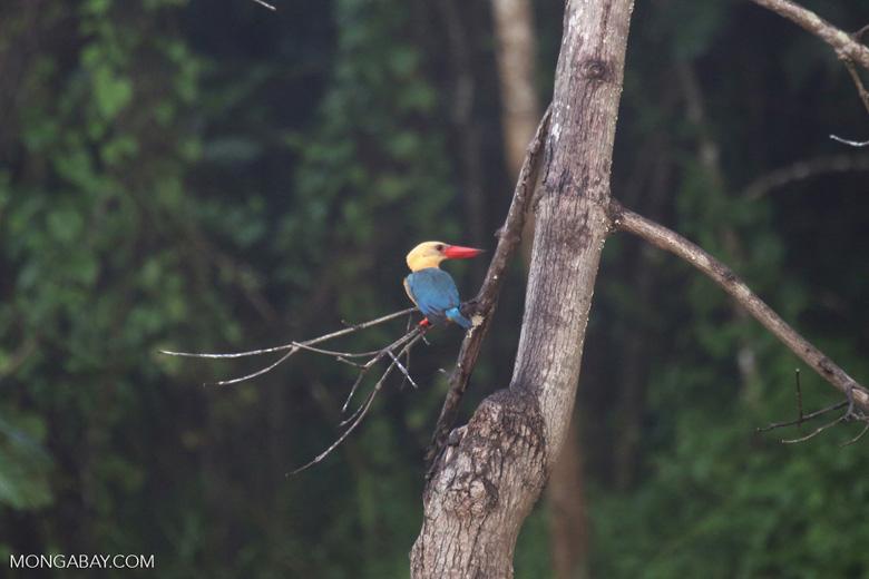 Stork-billed Kingfisher in Borneo -- sabah_3033
