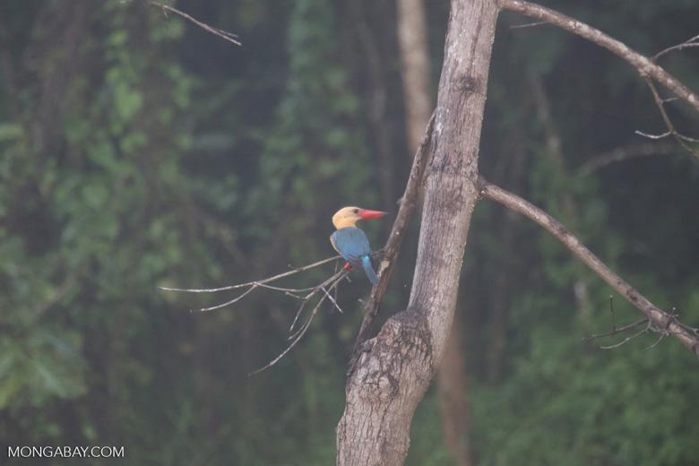 Stork-billed Kingfisher (Pelargopsis capensis) -- sabah_3035