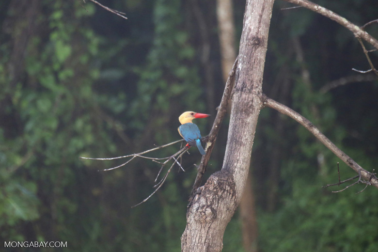 Stork-billed Kingfisher (Pelargopsis capensis) in Borneo -- sabah_3036