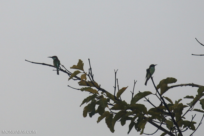Blue-throated Bee-eater -- sabah_3041