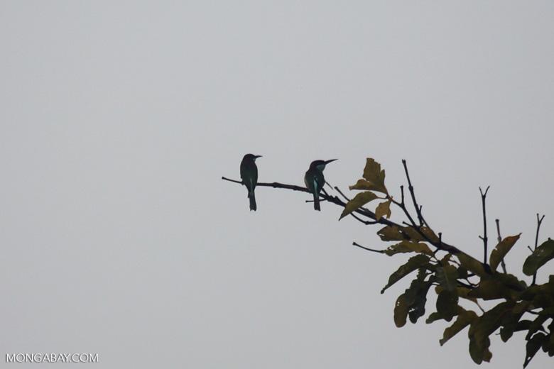Blue-throated Bee-eater (Merops viridis) -- sabah_3042