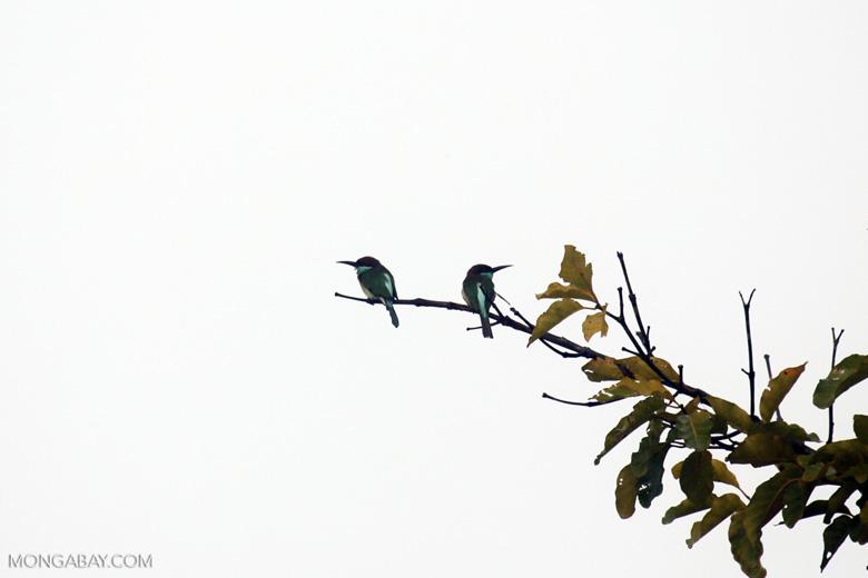 Blue-throated Bee-eater (Merops viridis) -- sabah_3044