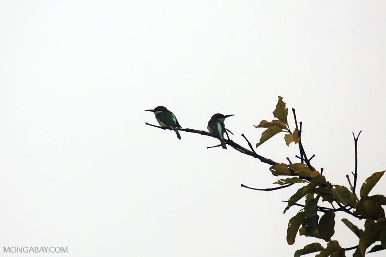 Blue-throated Bee-eater -- sabah_3045
