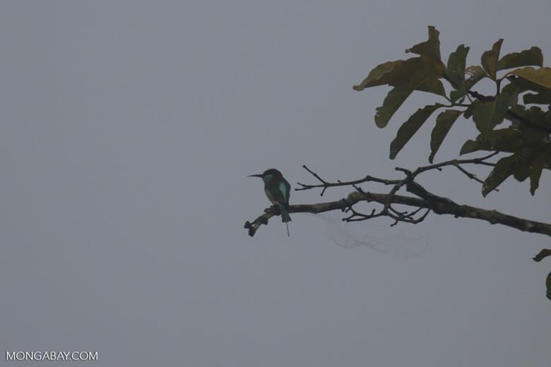 Blue-throated Bee-eater (Merops viridis) -- sabah_3048